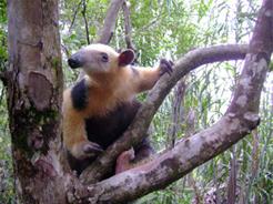 Manejo, Monitoramento e Resgate da Fauna e Flora Terrestre. Mata de São João/BA